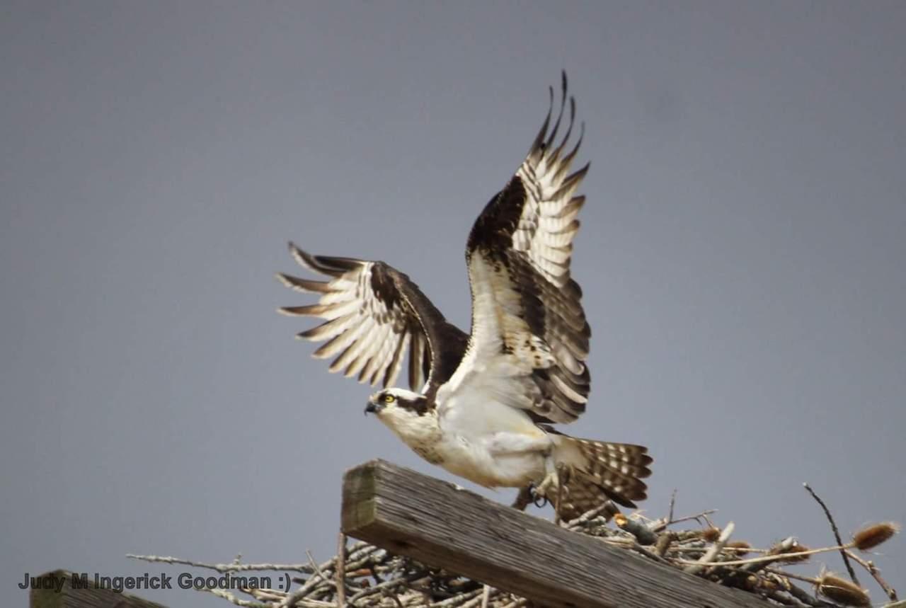 Osprey back in Ontario County (photo)