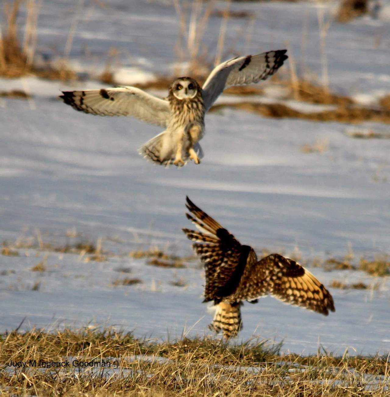 Sharing is hard for owls (photo)